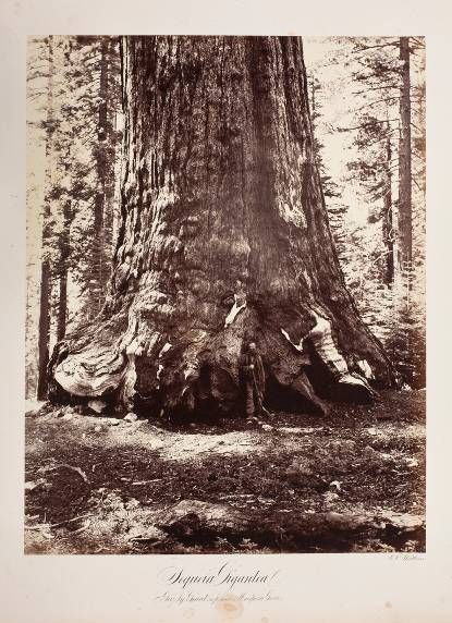 Sequoia Gigantea. Grizzly Giant 34 ft. Diameter. Mariposa Grove